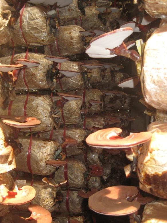 Gian nan con đường chất lượng nấm linh chi Việt Nam