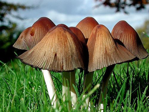Nấm độc - Toxic Mushroom